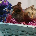 Which Came First: The Chicken or the Easter Egg? Consumer Awareness or Social Justice?