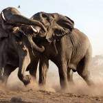 In the Absence of Fathers: A Story of Elephants and Men