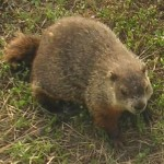For Groundhog's Day -- An Interview with Punxsutawney Phil