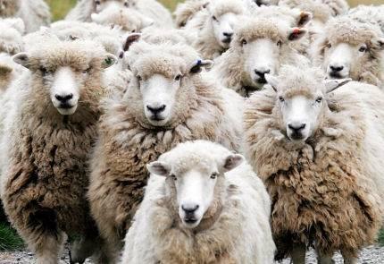 sheeple1.jpg